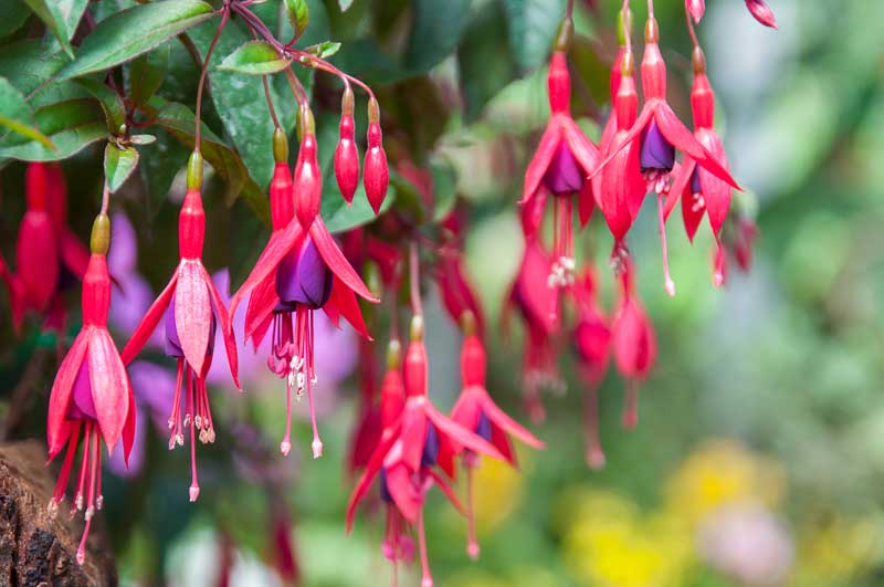 Brincos-de-princesa - Uma planta que nos faz lembrar a nossa infância!