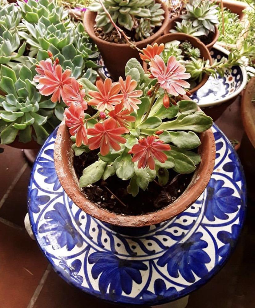 Lewisia - Aprenda a cuidar desta suculenta de flores maravilhosas