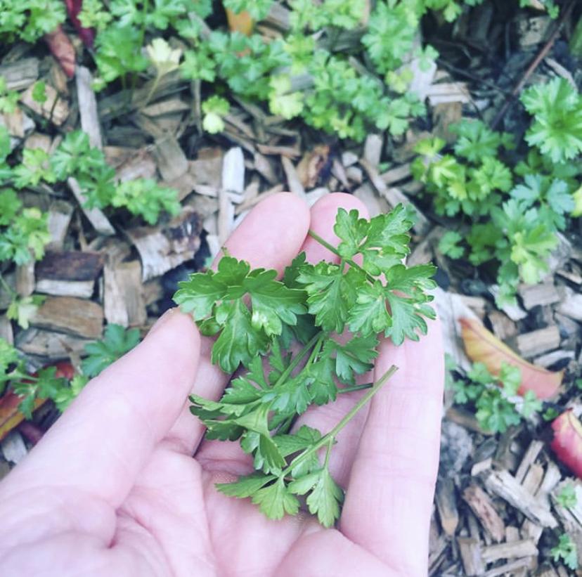 Saiba que plantas deve e pode plantar perto da salsa