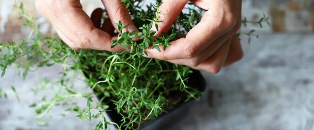 Aprenda a plantar tomilho facilmente em canteiros ou vasos