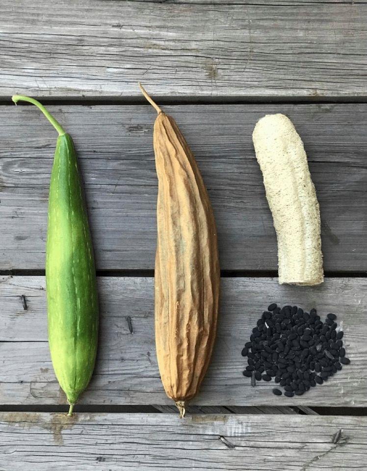 Plante luffa e faça as suas próprias esponjas naturais