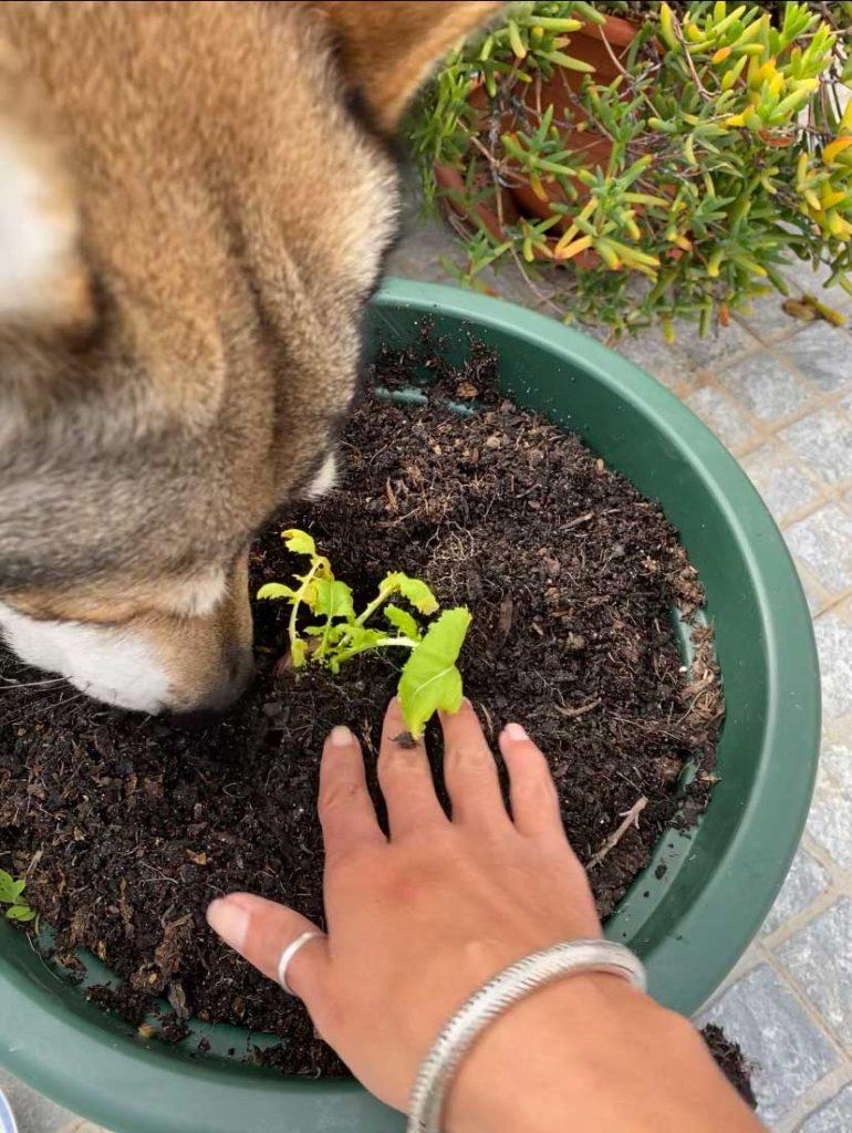 Plante um pedaço de nabo e ganhe folhas de nabiça!