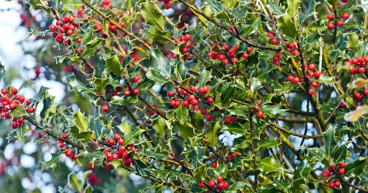 Azevinho - Aprenda a cuidar desta planta natalícia
