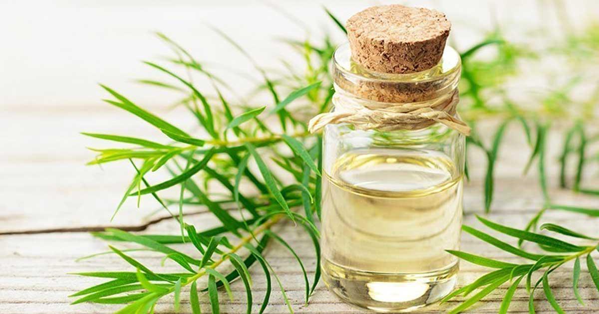 Aprenda quais são os benefícios do óleo essencial de melaleuca