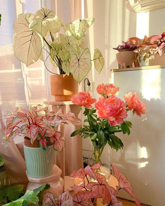 Caládio - Aprenda a cuidar desta planta ornamental