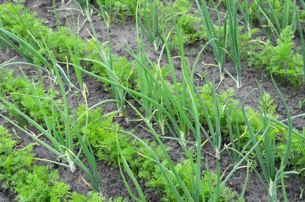 Aprenda que plantas pode e deve plantar perto das cenouras