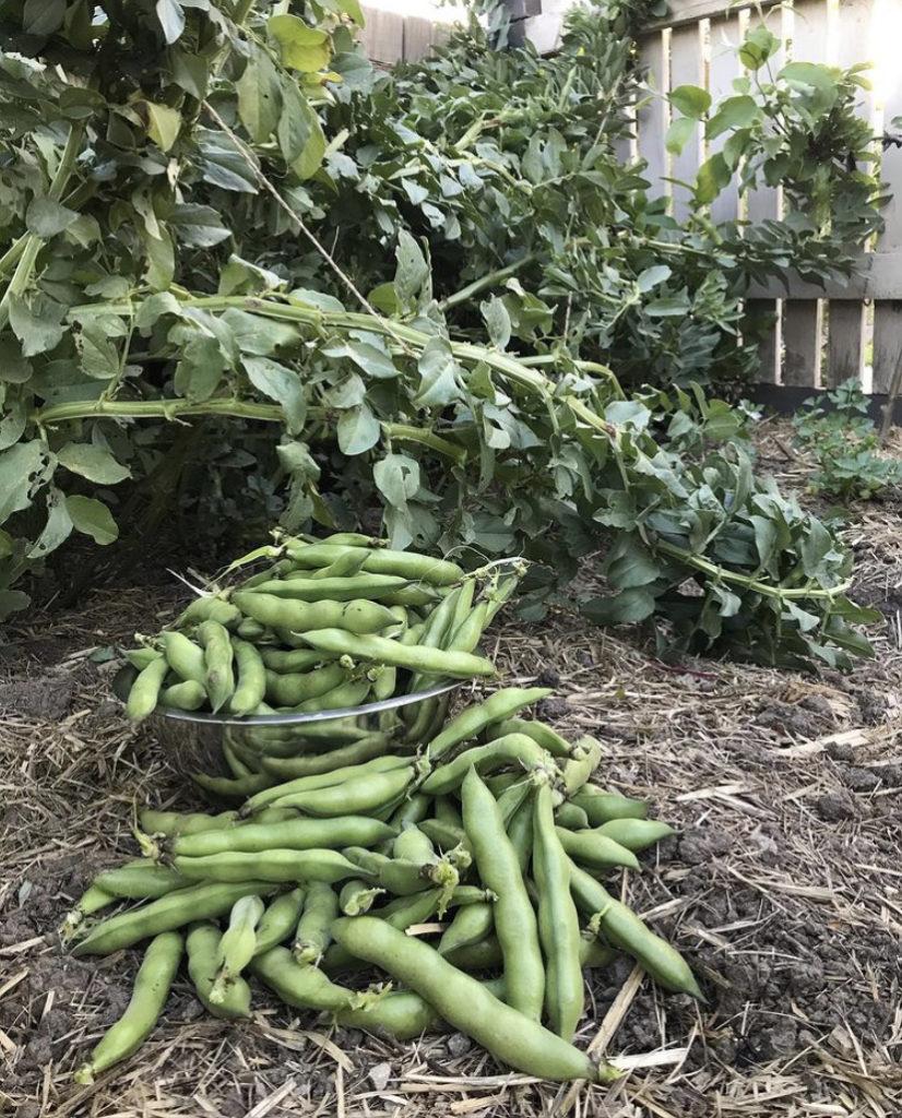 Favas - Aprenda a semear esta leguminosa tão adorada em Portugal