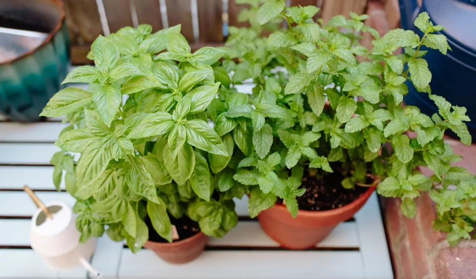 Aprenda como deve plantar manjericão em canteiros ou vasos