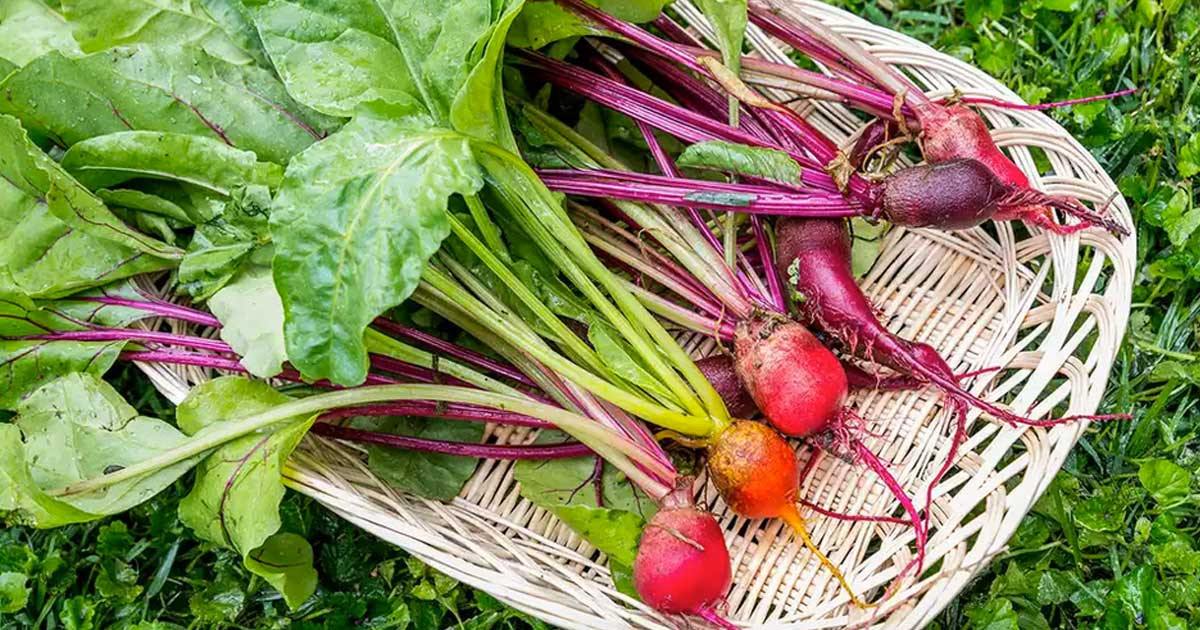 Aprenda como deve plantar beterrabas em canteiros e em vasos