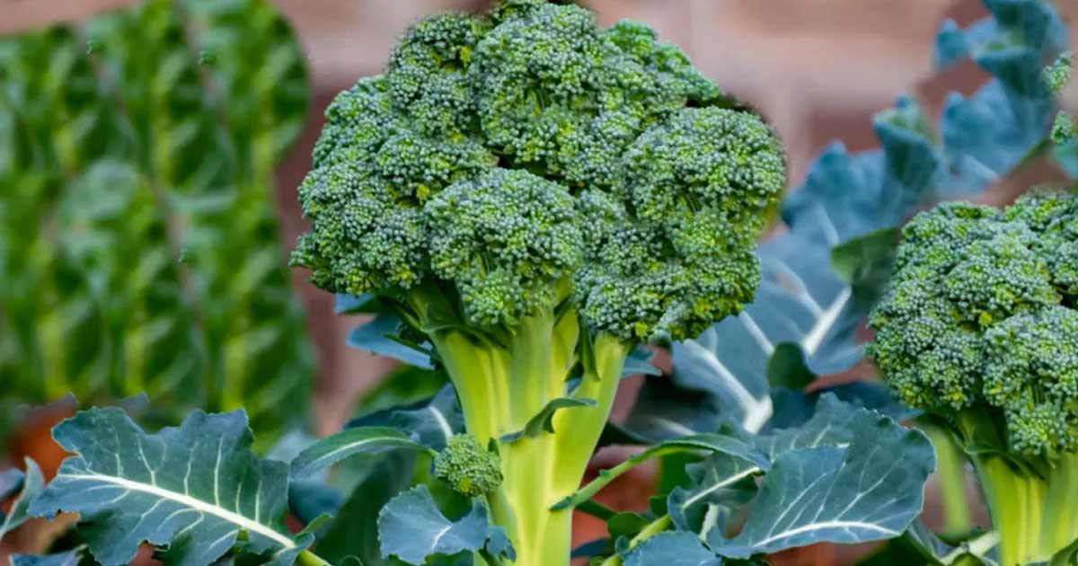 Aprenda como e quando deve plantar brócolos na sua horta