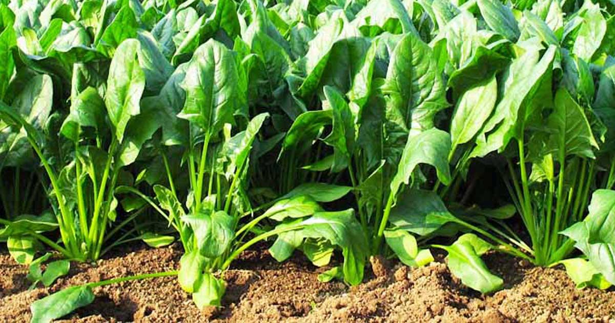 Guia para aprender a plantar e a colher espinafres