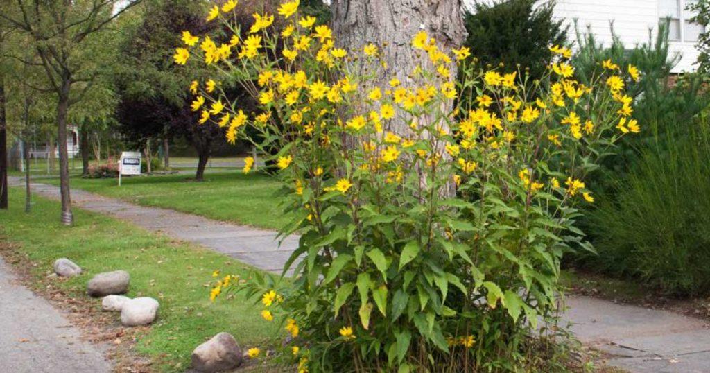 Aprenda como plantar, colher e conservar tupinambos