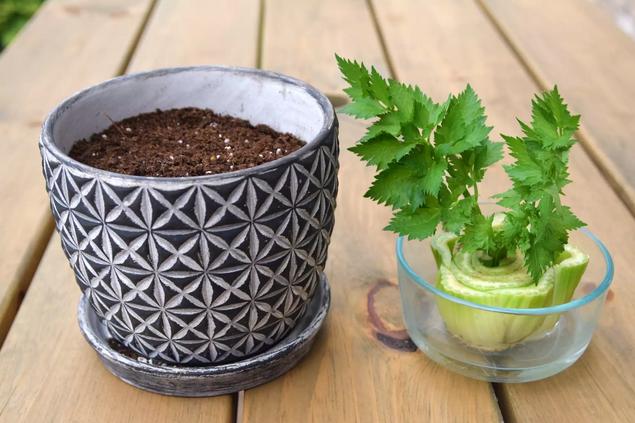 Aprenda como deve plantar aipo em vasos ou canteiros