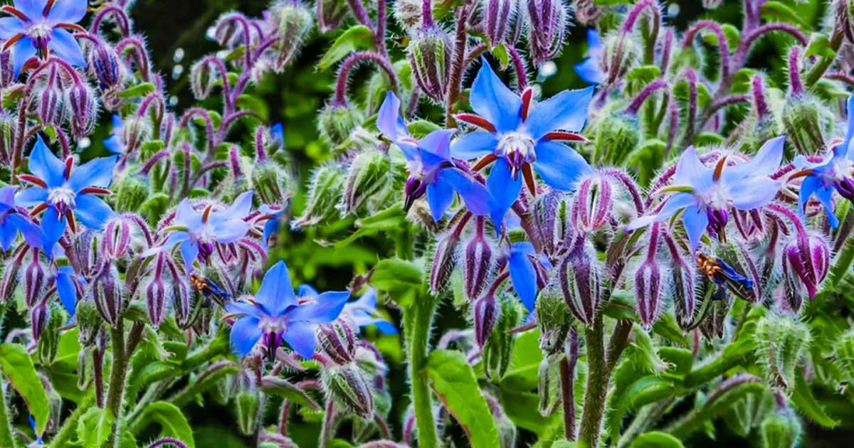 Aprenda como deve plantar borragem na sua horta