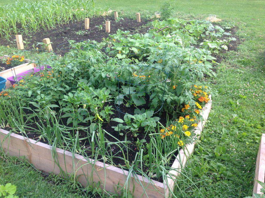 Saiba que plantas pode e deve plantar perto dos pimentos