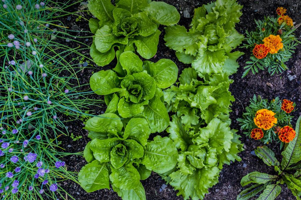 Saiba que plantas pode e deve plantar perto das alfaces