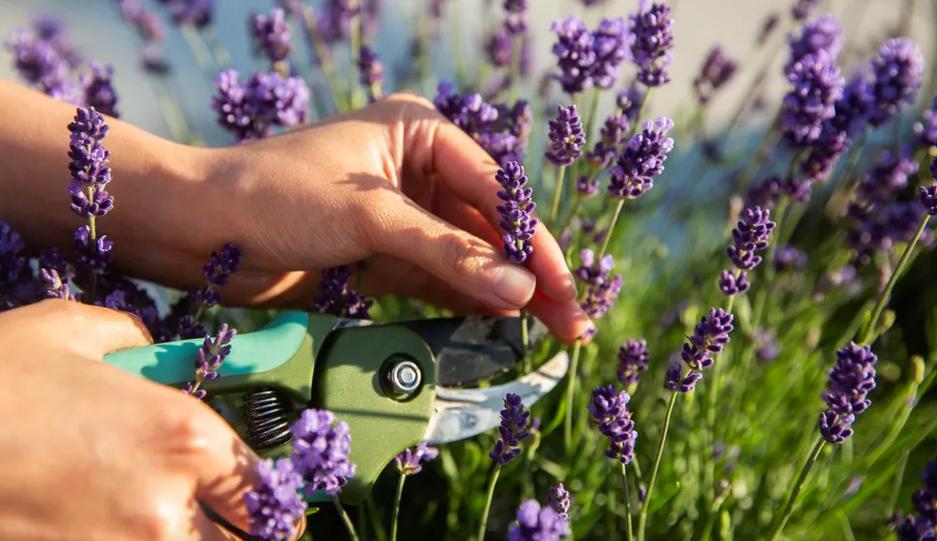 Aprenda como deve plantar alfazema em canteiros ou vasos