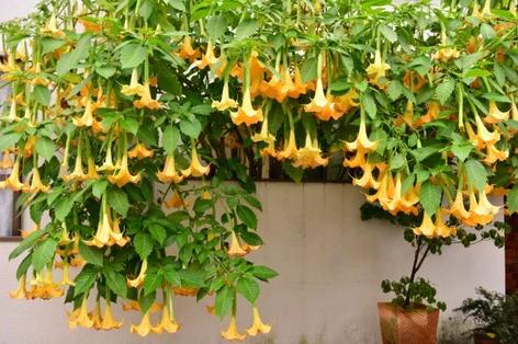 Trombeta-de-anjo - Aprenda a cuidar deste arbusto ornamental
