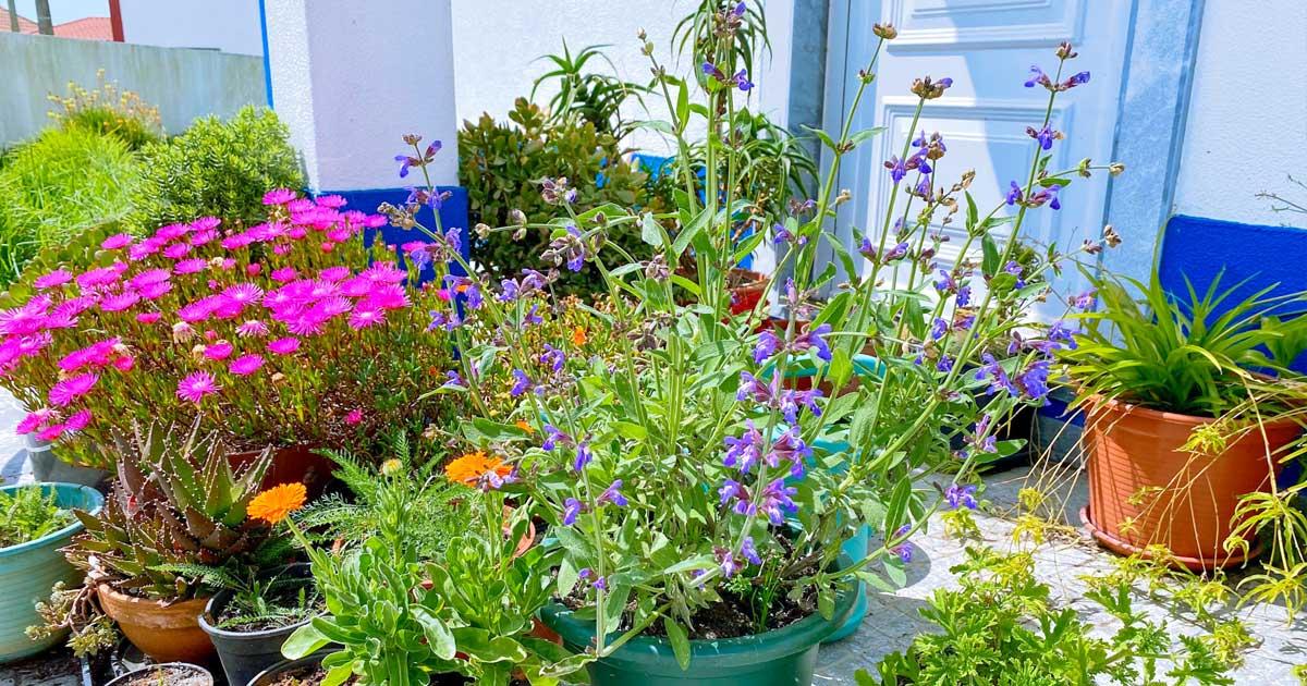 Aprenda como deve plantar sálvia em vasos ou canteiros