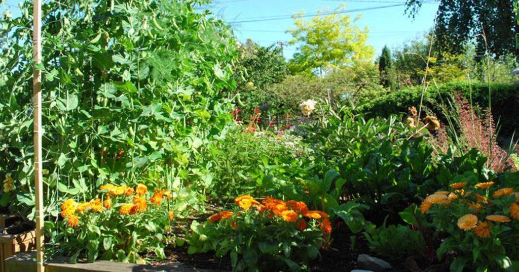 Saiba que plantas pode e deve plantar perto de ervilhas