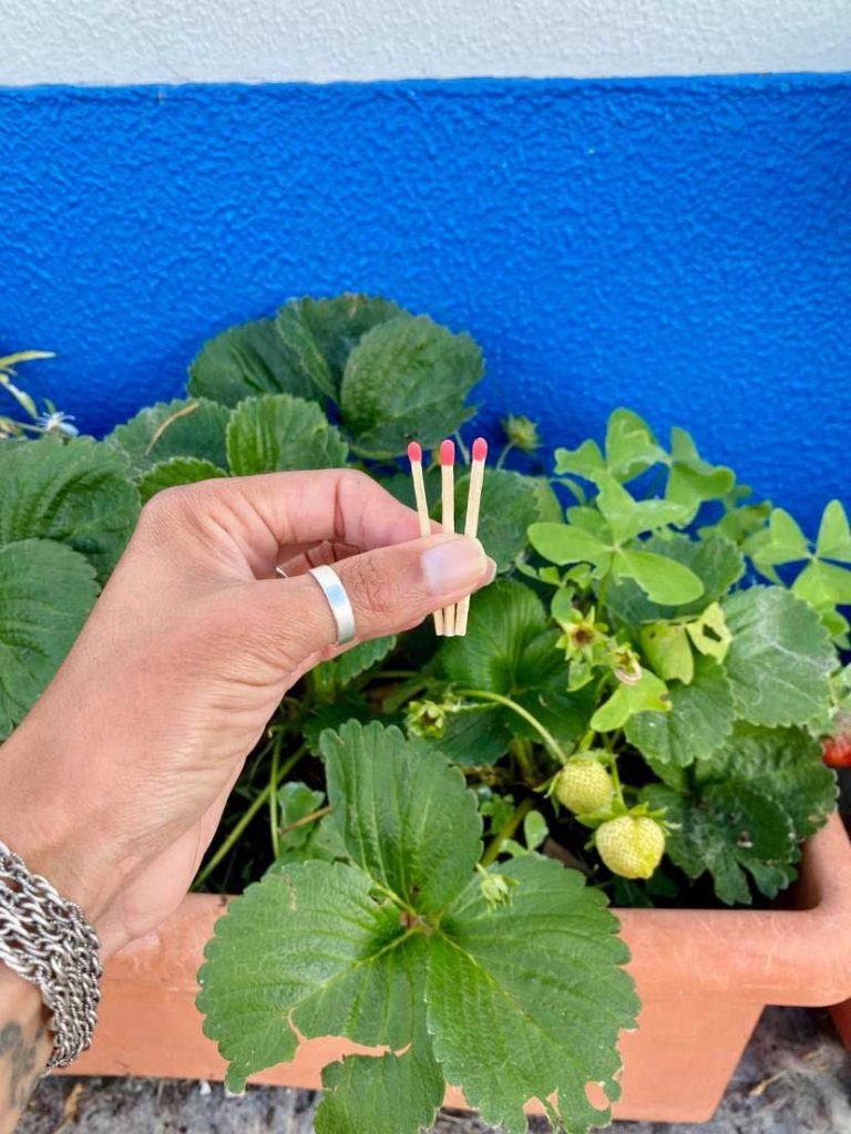 Sabem porque se deve colocar cabeças de fósforos nas plantas?
