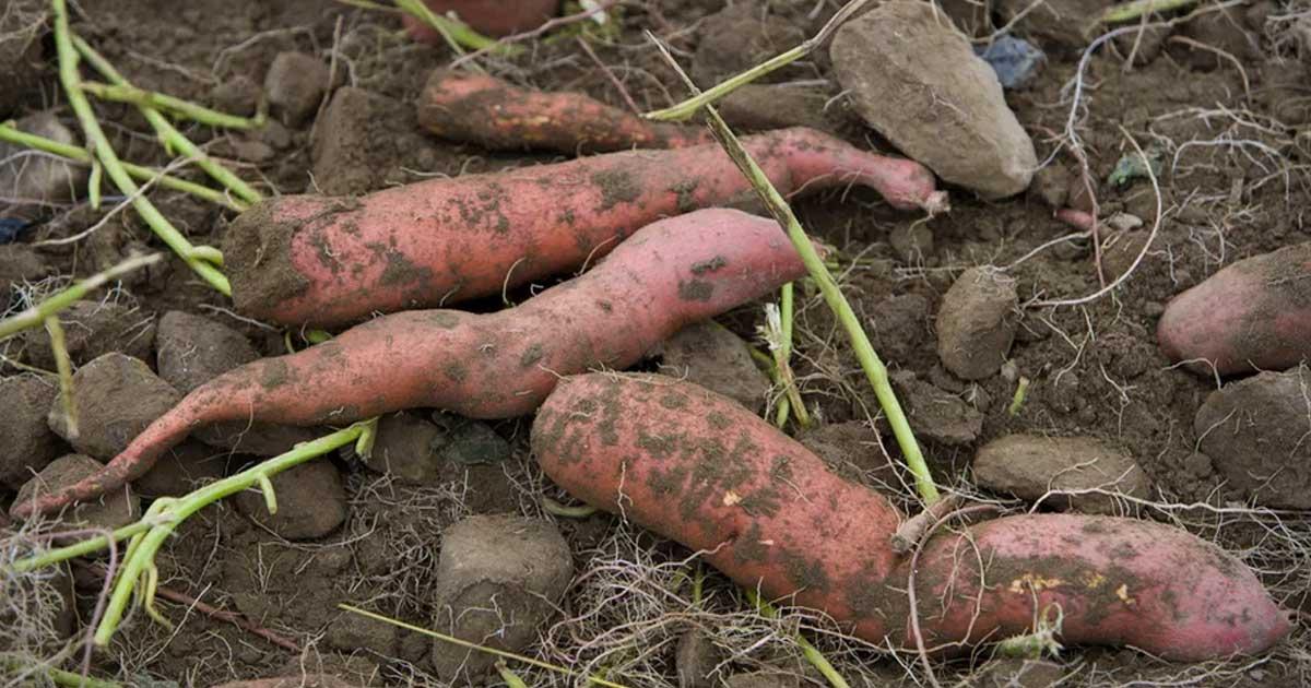Aprenda a plantar batata doce em canteiros ou vasos