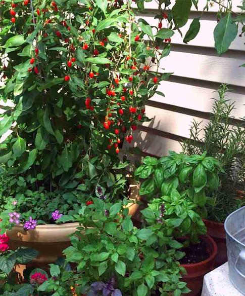 Aprenda a plantar bagas goji em canteiros ou vasos