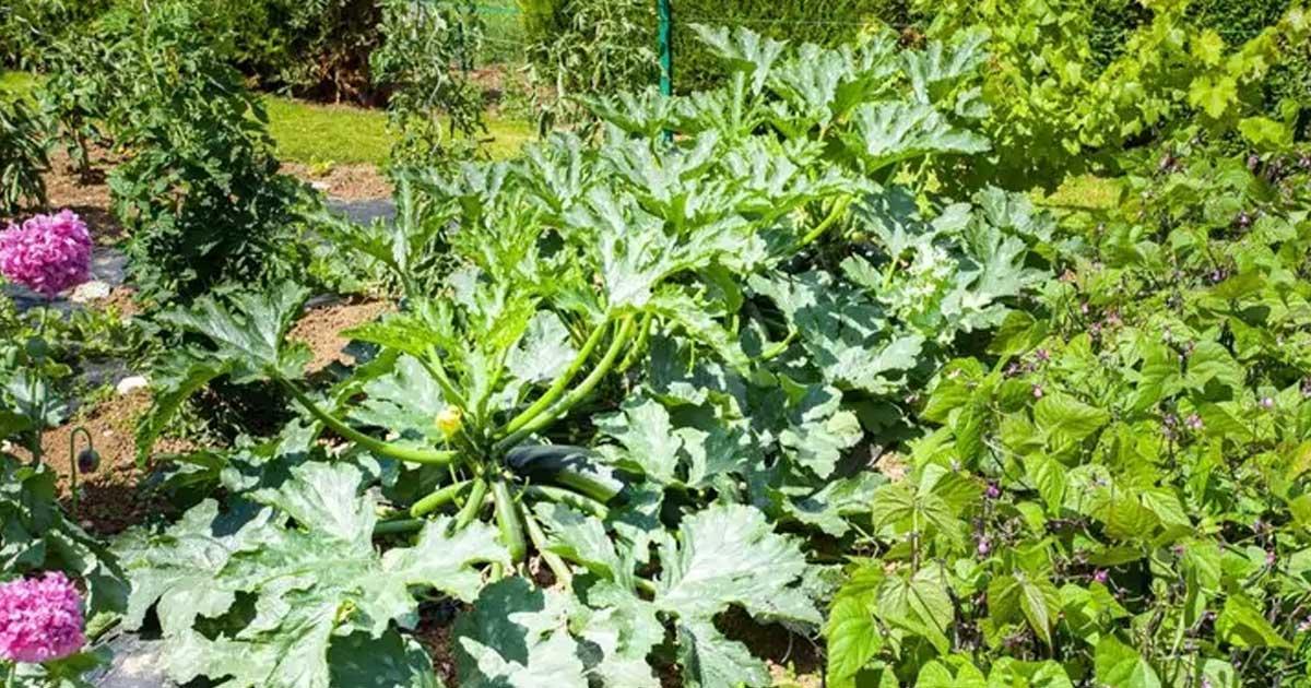 Aprenda que plantas pode e deve plantar perto das curgetes
