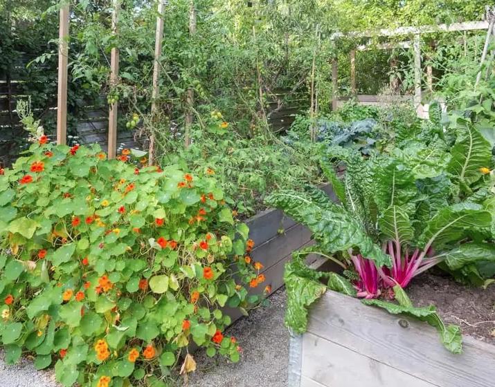 Como plantar capuchinhas e quais os seus benefícios na horta