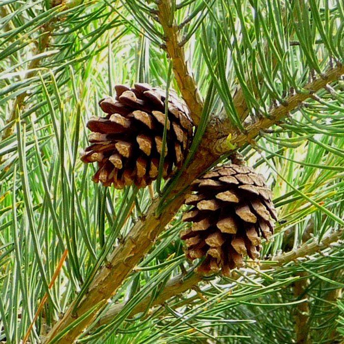 Aprenda 6 formas inteligentes para usar as agulhas dos pinheiros!