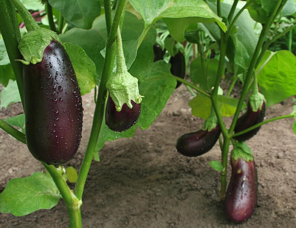 Aprenda a plantar beringelas em canteiros ou vasos