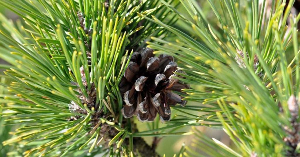 Aprenda 6 formas inteligentes de usar as agulhas dos pinheiros!