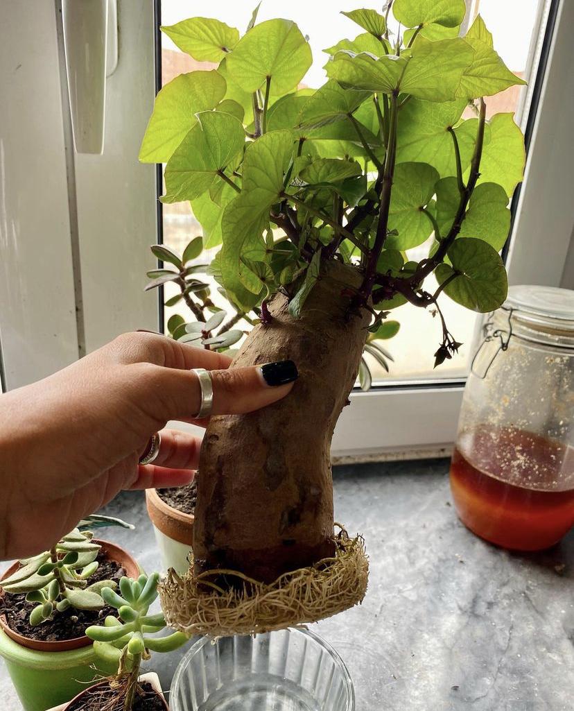 Aprenda a crescer batata doce em casa
