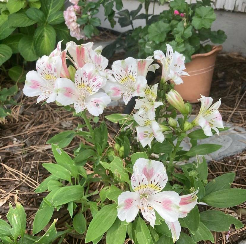 Como cuidar de astromélias - flores dos jardins dos nossos avós