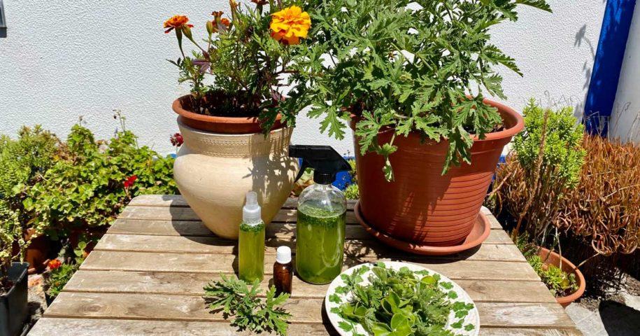 Como fazer spray de folhas de gerânio e para que pode ser utilizado