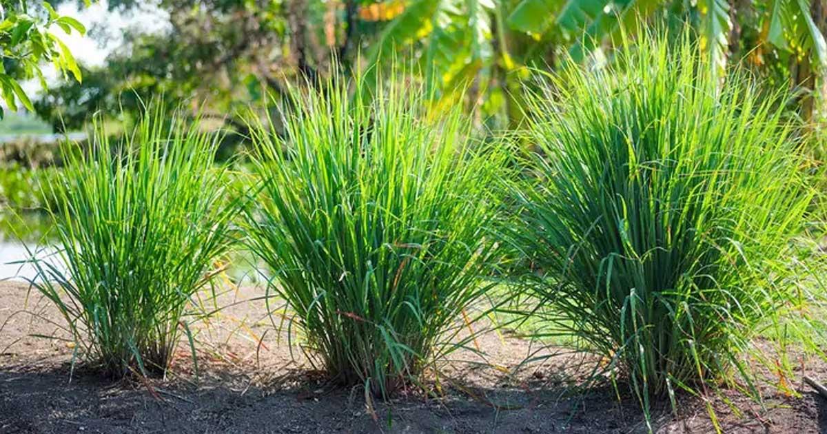 9 Razões para para plantar erva-príncipe no seu quintal